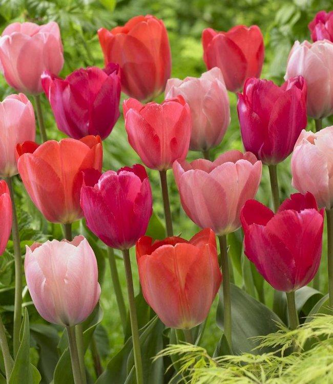 Mélange de tulipes Family van Eijk