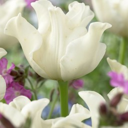 Тюльпан White Liberstar
