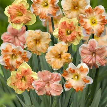 Narcissus Split Corona Festival