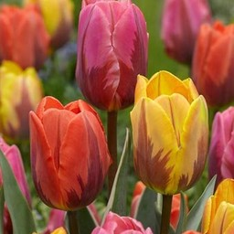 Tulpenmix Royal Flames