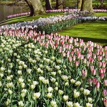 Tulipa Dream Carpet