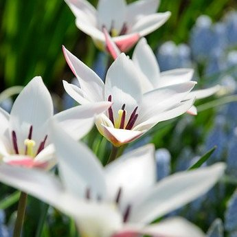 Tulipa Lady Jane