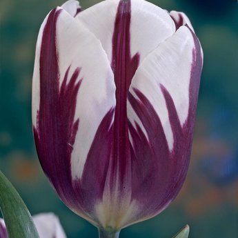 Tulipa Rembrandt Selection