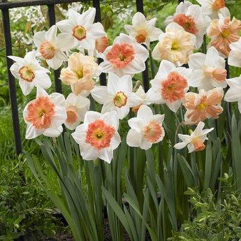 Narcissus Cha Cha