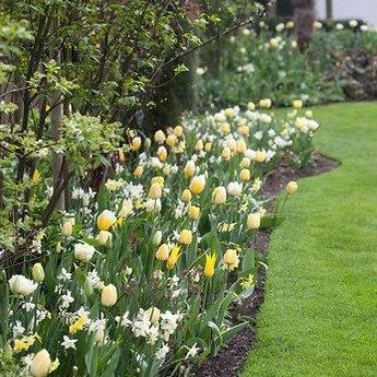 Tulipa Golden Parade