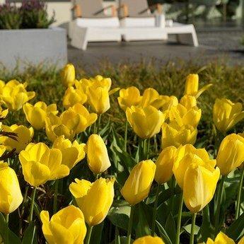 Tulipa Big Smile