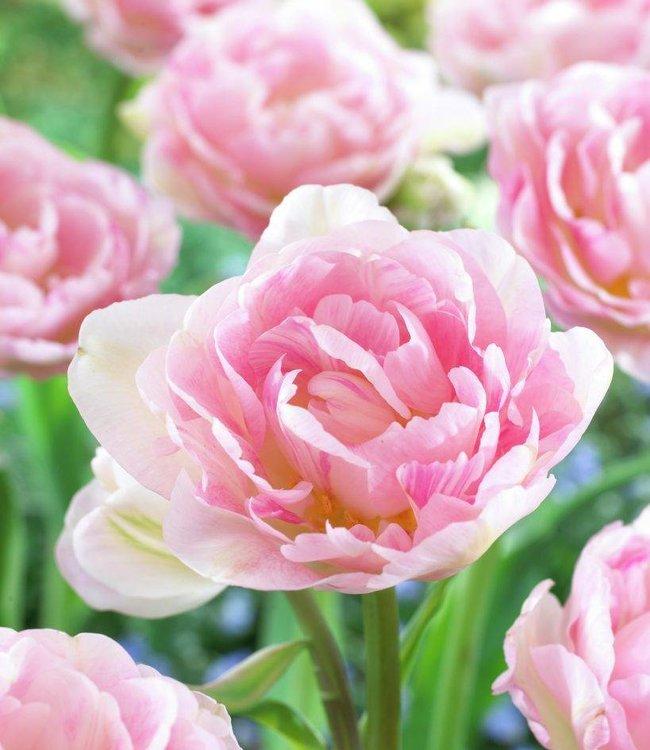 Tulpe Angelique