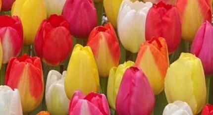Все тюльпаны
