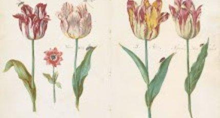 Historie van de tulp