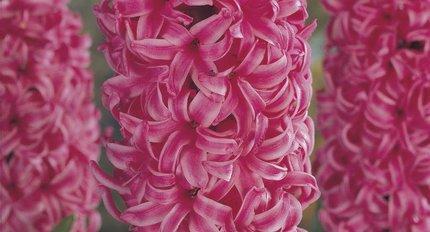All hyacinths