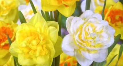 Doubleflowering daffodils