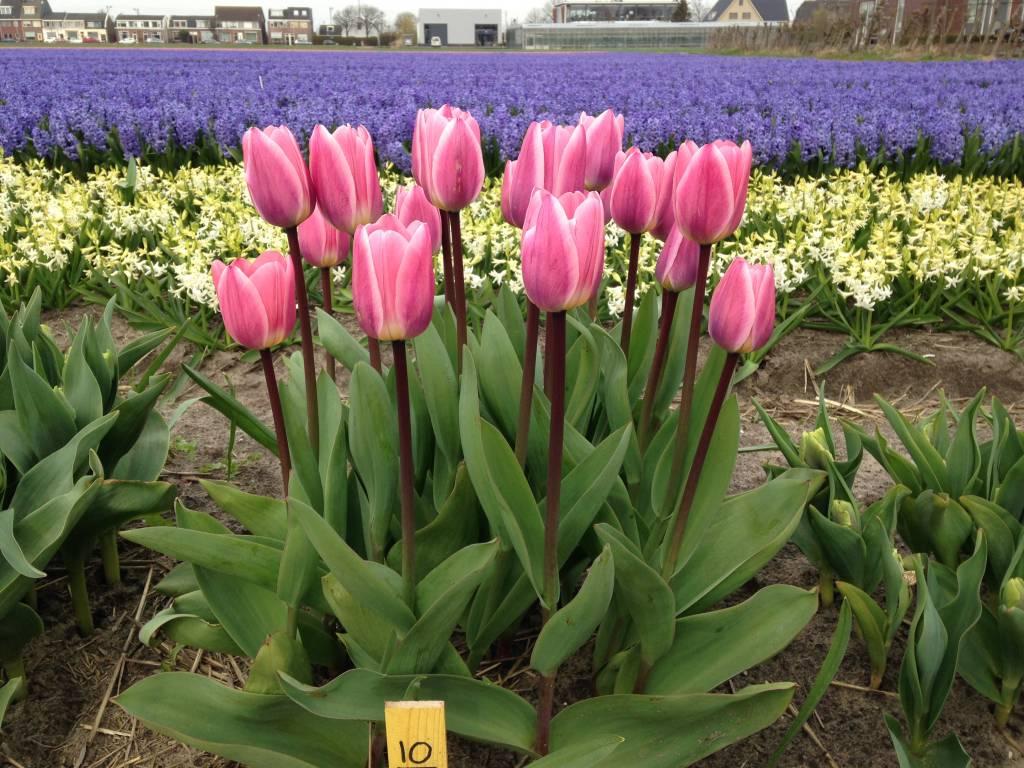 Trial garden Tulip Store