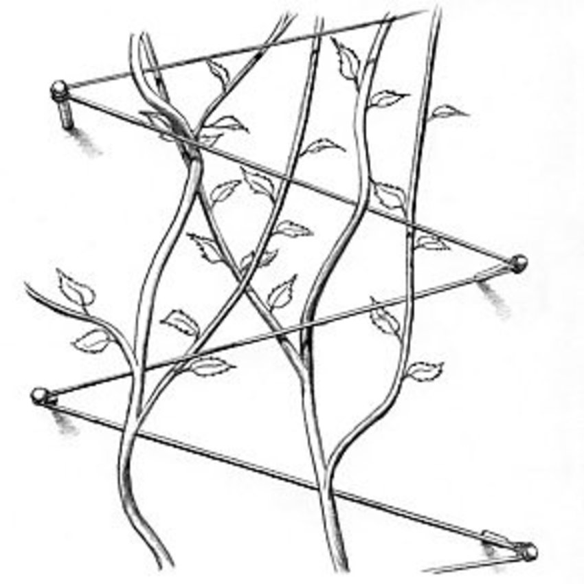 Plant Geleider-schroef Rvs Trellis