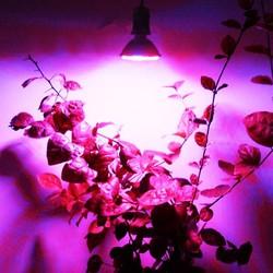 Supply E27 LED Kweeklamp 3.8W