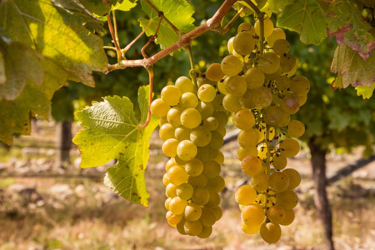 De Sauvignon Blanc