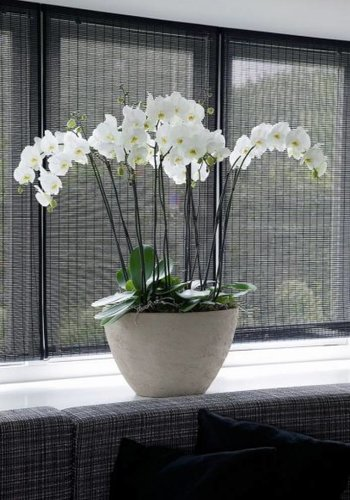 Phalaenopsis XL in pot