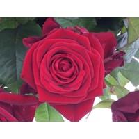 thumb-Boeket rode rozen bestellen-1