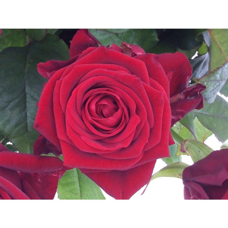 Boeket rode rozen bestellen-1