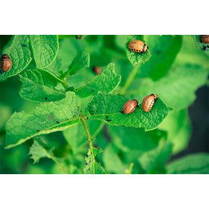 ECOstyle Aaltjes tegen larven coloradokever