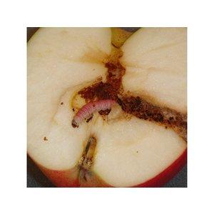 ECOstyle Aaltjes tegen larven fruitmot