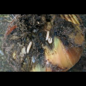ECOstyle Aaltjes tegen larven uienvlieg