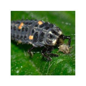 ECOstyle Larven lieveheersbeestje tegen bladluizen