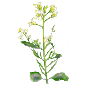 MRS Seeds & Mixtures Ethiopische mosterd