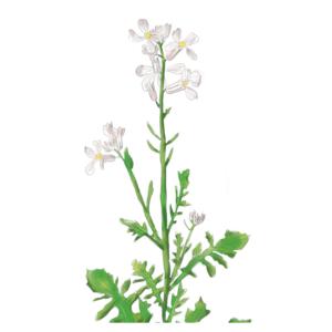 VDS Zwaardherik (Eruca Sativa)