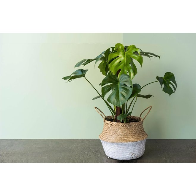Trendy Monstera Gatenplant
