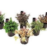 Set van 6 winterharde sierheesters
