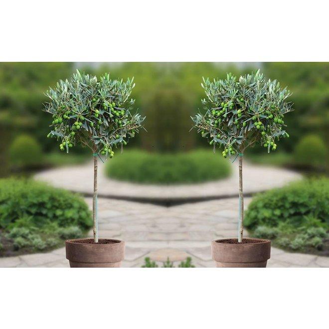Set van 2 Winterharde Olijfbomen op stam (90-100 cm)