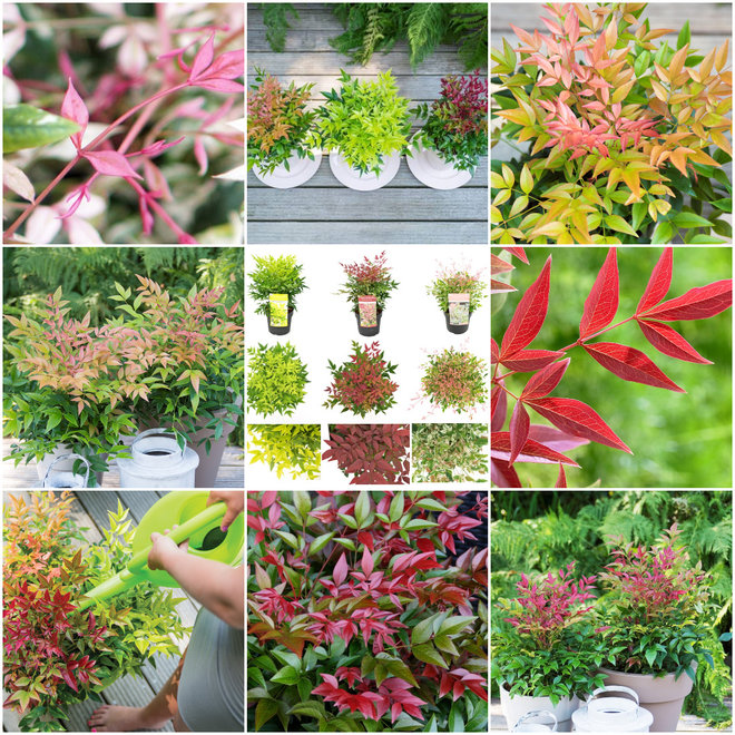 Set van 3 Nandina 'Hemelse Bamboe' sierheesters – prachtige kleur explosie in de tuin