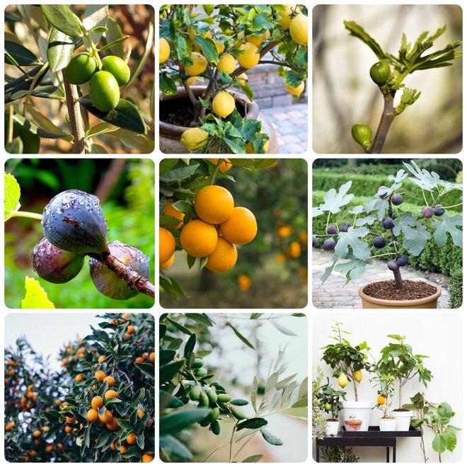 Set met 4 Mediterrane fruitboompjes