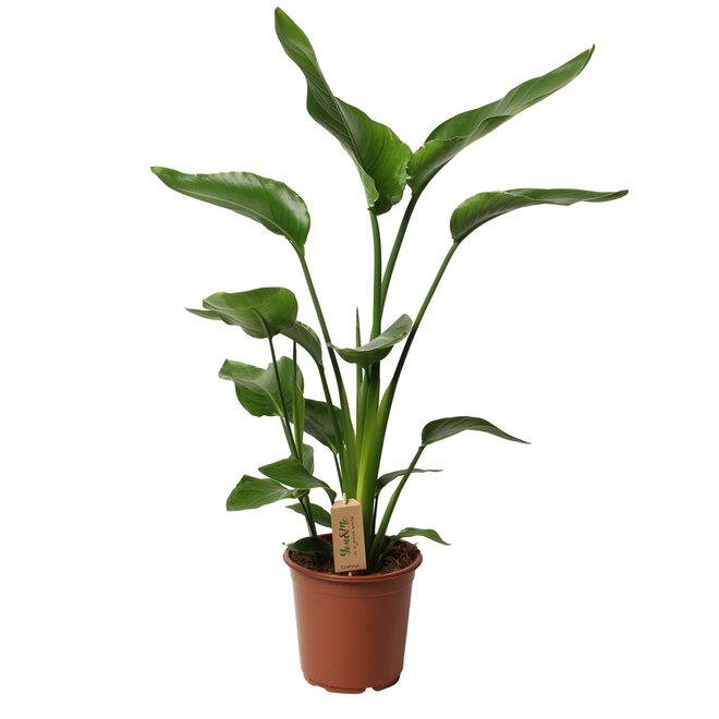 Prachtige XL Strelitzia Paradijsvogelplant 100-120cm