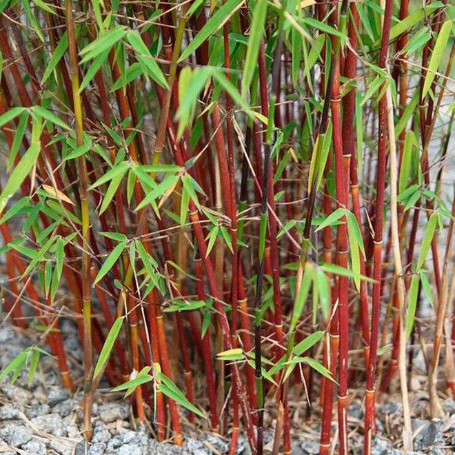 Set van 3 of 6 winterharde Rode Bamboestruiken