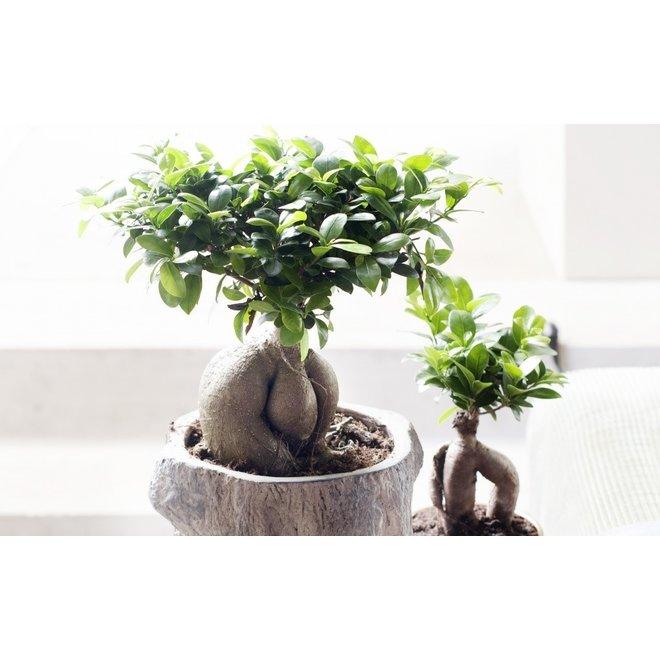 Set van 2 Japanse Bonsai's – Ficus Ginseng