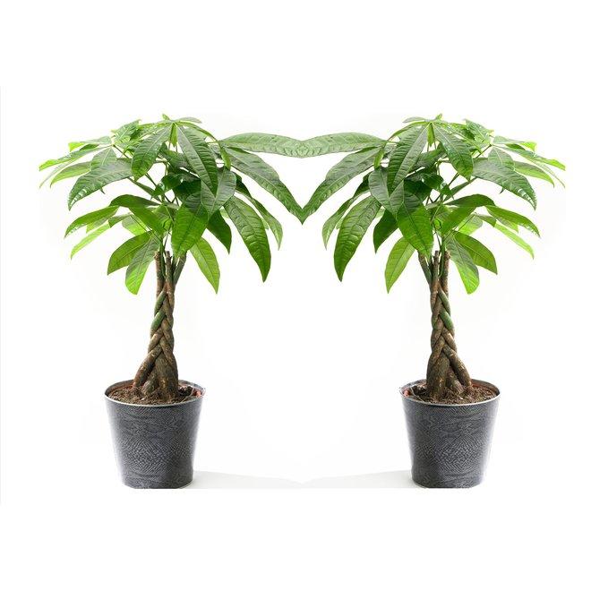 Set van 2 Pachira 'Money trees' - De geldvanger!