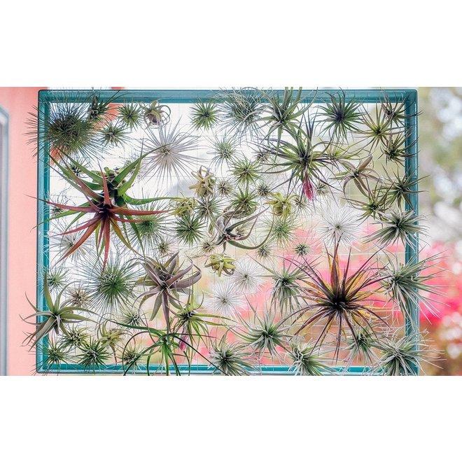 Set van 6 super trendy Tillandsia luchtplanten