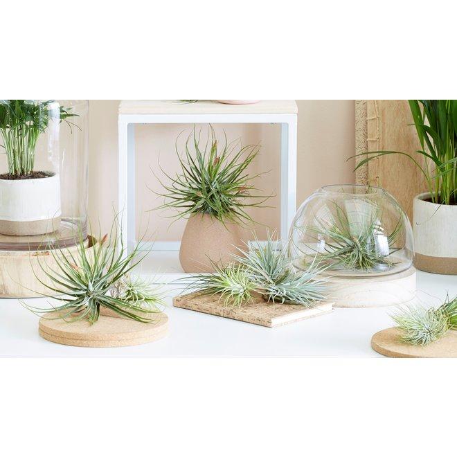 Set van 6 of 12 super trendy Tillandsia luchtplanten