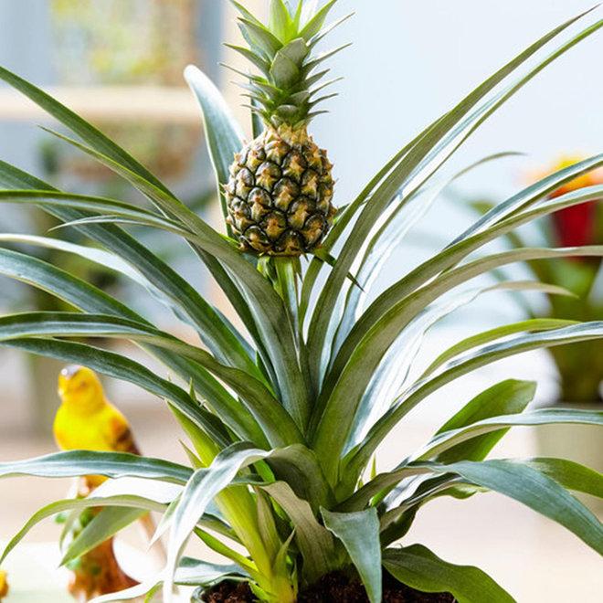 Trendy Ananasplant (anti-snurkplant)