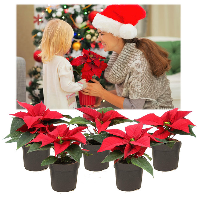 Poinsettia - Kerststerren