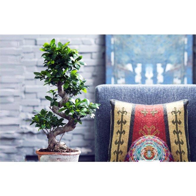 XXL Japanse Bonsai boom met S-vormige stam (60-80 cm)
