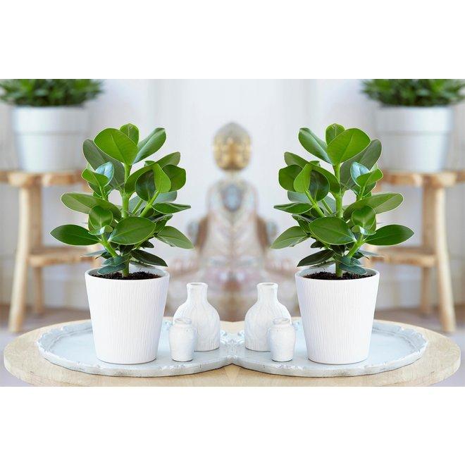 Set van 4 oersterke 'Easy-care' kamerplanten