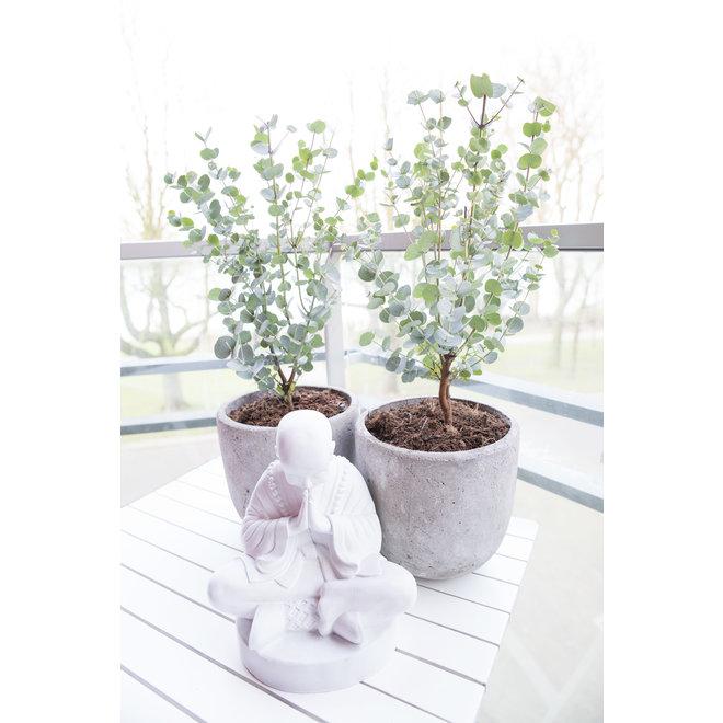 Set van 2 Eucalypthus Planten