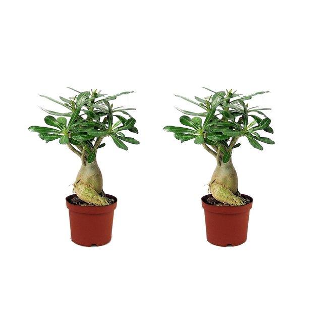 Set van 2 Adenium Woestijnrozen