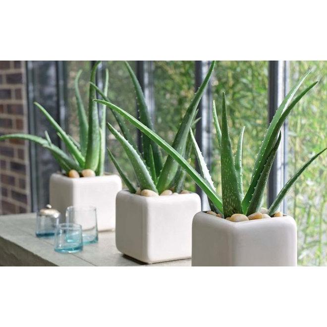 Set van 3 of 6 Aloë Vera planten