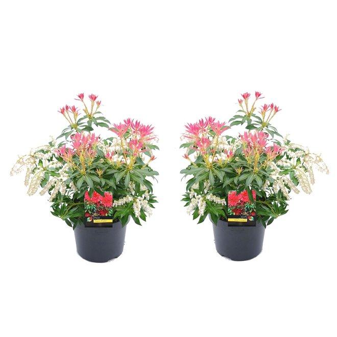 2 Pieris Forest Flame planten