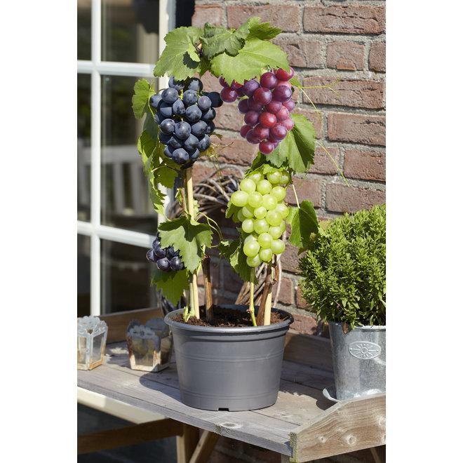Set van 3 of 6 Druivenplanten