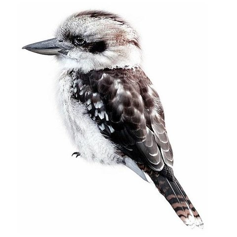 KEK Amsterdam muursticker vogel Kookaburra