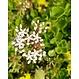 Wildflower Sedum cassette per m2